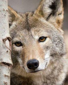La belleza del lobo