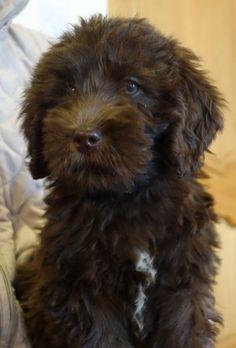 Stunning Chocolate Labradoodle puppies   Kirkcudbright, Kirkcudbrightshire   Pets4Homes