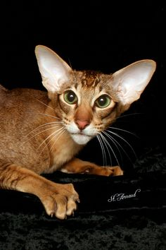 Banjo, he is a cinnamon tabby Oriental shorthair from our Compass Rose pedigrees.