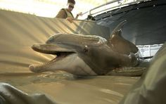 U.S. Navy to bring mine-hunting dolphins to Hawaii