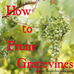 Pruning Grapevines | For seed giveaways, daily tips and plant info, come join us on facebook! https://www.facebook.com/thegardengeeks