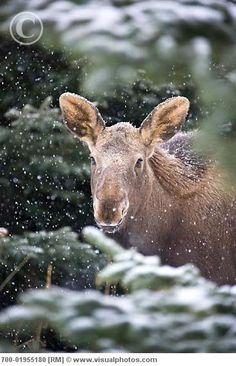 moose calf :)