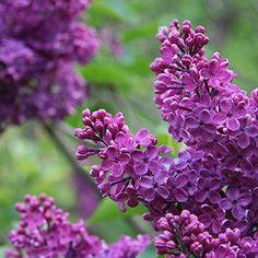 Common Purple Lilac