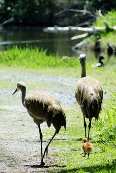 """Sand-hill Crane Family at the *George C. Reifel Migratory Bird Sanctuary, Southern British, Canada*     [Photo by どこでもいっしょ (Ann Hung) - May 20 2011]'h4d'120929"