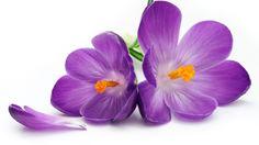 Güzel çiğdem çiçeği