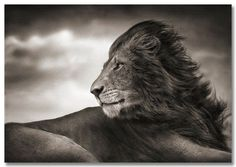 Lion before storm II -Nick Brandt