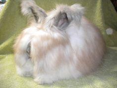 angora bunny   The Rabbitshepherd