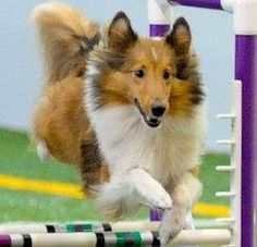 Hurdles ~ MORE AGILITY, OVER, IN, OUT..~