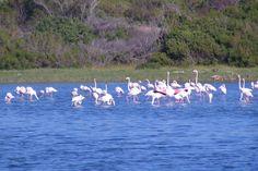 Greater Flamingo -Grootflaminke-
