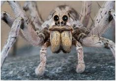 So called due to their ability to run down their prey, wolf spiders depend on their eyesight to hunt. Their sense of touch is acute. A bite may cause some itching to a human, but nothing deadly or major.