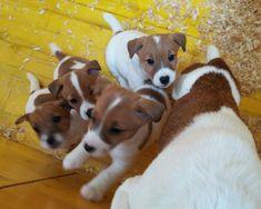 Pisa: JACK RUSSELL TERRIER: #vendita #cuccioli #jackrussell #pisa Vai all'annuncio: