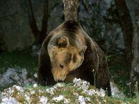 Orso Marsicano, Parco Nazionale d'Abruzzo, Italy