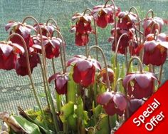 Sarracenia x catesbaei (flava x purpurea ) - South West Carnivorous Plants