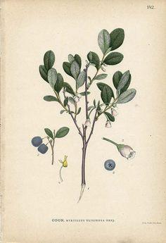 BOG BILBERRY Antique 1905 Botanical Book Plate 142 Myrtillus Uliginosa