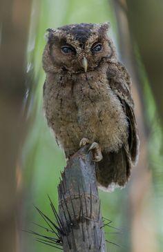 Sunda Scops Owl by MEphotog Via Flickr: Singapore Botanic Gardens