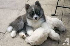 POMSKY Puppies For Sale . for Sale in Midvale, Utah Classified | AmericanListed.com