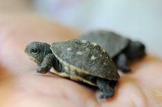 Schildkröte als Haustier? Warum denn nicht?  - http://freshideen.com/haustiere/schildkrote-als-haustier.html