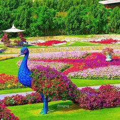 Peacock Topiary at Cypress Gardens Amazing Gardens, Beautiful Gardens, Beautiful Flowers, Topiary Garden, Garden Art, Dubai Garden, Miracle Garden, Gardens Of The World, Formal Gardens