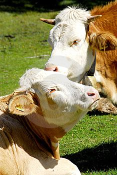 A telephoto of a typical danish cows