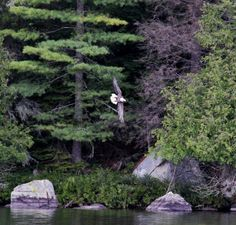Adirondacks - yes, I've seen a few bald eagles in our mountains.