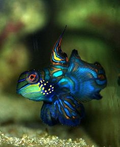 mandarin fish -My sis has a salt water tank and these is a beauty. Underwater Creatures, Underwater Life, Ocean Creatures, Beautiful Sea Creatures, Animals Beautiful, Colorful Fish, Tropical Fish, Mandarin Fish, Life Under The Sea