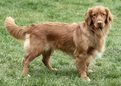 Nova Scotia Duck Tolling Retriever | Paras Pets LLC