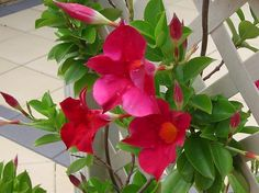 dipladenia-trepadeiras-com-flores mandevilla splendens Small Vegetable Gardens, Vegetable Garden For Beginners, Gardening For Beginners, Gardening Tips, Flower Gardening, Mandevilla Vine, Bamboo Fountain, Flora, Garden Labels