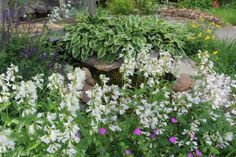 hostas, sundrops, salvia, foxglove and wild geraniums by the pond