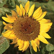 Happy Face Sunflower-pull out seeds with tweezers to form the eyes, nose and smile.