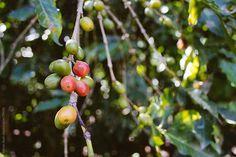 Stock photo of Coffee beans in Peru by handcarryonly Espresso Shot, Espresso Coffee, Black Coffee, Iced Coffee, Coffee Shop, Coffee Images, Coffee Beans, Peru, Stock Photos