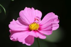 Cosmos Flower Blooms in the High Desert