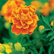 Tagetes patula 'Queen Sophia' (French marigold 'Queen Sophia') Click image to learn more, add to your lists and get care advice reminders  each month.