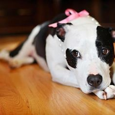 Pink bow + pearls + pitbull = Adorabull
