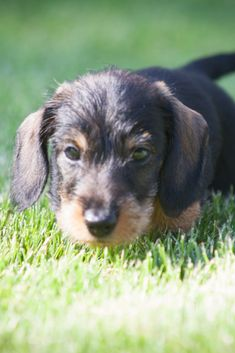 Cute little wire-haired miniature #dachshund puppy dreaming and wondering on the lawn