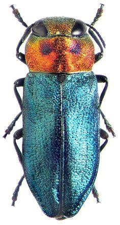 Buprestidae: Anthaxia signaticollis, http://www.zin.ru/animalia/coleoptera/eng/smirnew5.htm