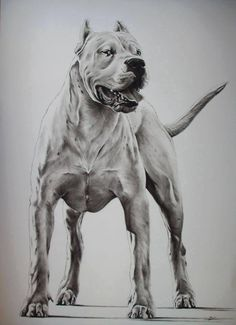 beautiful Hog Dog, My Pet Dog, Pet Dogs, Dogs And Puppies, Dogo Argentino Dog, Mastiff Breeds, Bulldog Mascot, Dog Pounds, Hunting Dogs