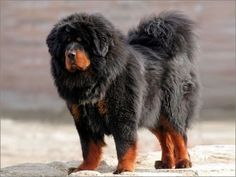 Tibetan Mastiff - I told David we should get one, then I found a pin that said one sold 1.6 million US in China.  Hahahaha! Ya right!