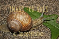 for sale snail crawling in the night