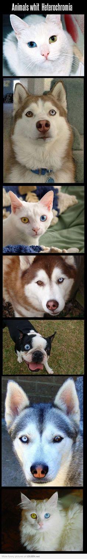 Cats and dogs with heterochromia / cães e gatos com heterocromia