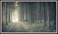pine forest, somewhere in Bükk mountains, Hungary