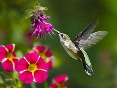 Hummingbird Photo, Hummingbird with Flowers, Humming bird Art, Hummingbird Photography, Hummingbird Flying, Photograph, Wildlife Photography by ChristinaRolloArt on Etsy