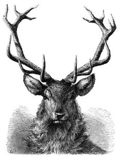 stag engraving | Stag Head Drawing