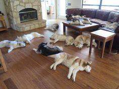 Someone Throw huskies on the floor