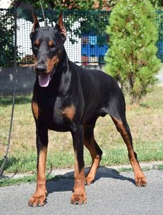 Doberman forum uk