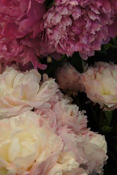 Love pink pionies