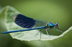 belle demoiselle.  I hate insects, really, but dragonflies are somehow different!