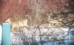 deer along path at lynde shores 2