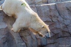 Mit einem Sprung hinter den Fischen her. Von den beiden Eisbären springt nur Sprinter von dem Felsen. Nanuq geht seicht ins Wasser um seine Fische zu bekommen.   Yukon Bay Erlebnis Zoo Hannover  September 2014
