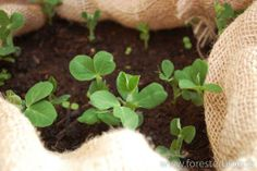 Peas growing in a container Greenery, Container, Plants, House, Home, Haus, Planters, Canisters, Plant