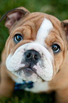 Awwww... what an adorable bulldog puppy